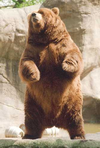 [Image: Brown_bear_rearing.jpg]