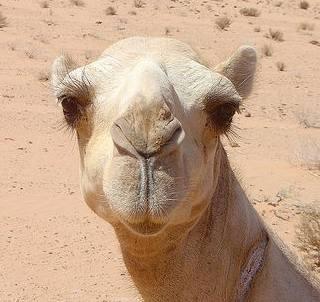 http://www.solarnavigator.net/animal_kingdom/animal_images/Camel_Jordanian_Desert.jpg