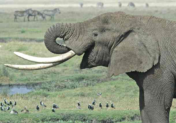 pictures of elephants in africa