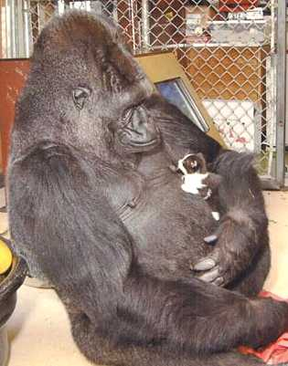 http://www.solarnavigator.net/animal_kingdom/animal_images/Gorilla_koko_and_another_kitten.jpg