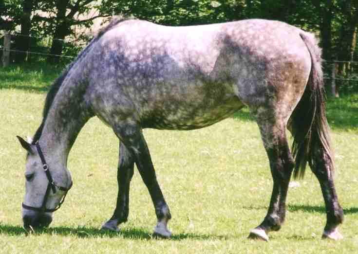 Quiets Wild Horses Horse_Holsteiner_Apfelschimmel_dapple_2005