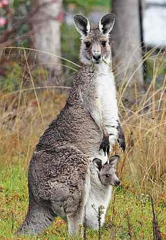 external image Kangaroo_and_joey_gey.jpg