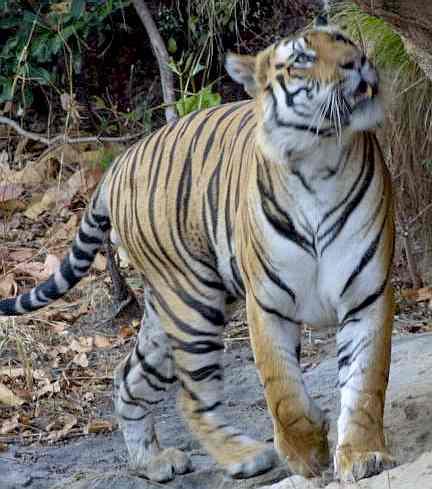 Tigru  Wikipedia
