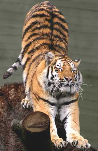 Tiger Siberian احلى صور النمر   Best Photos Tiger