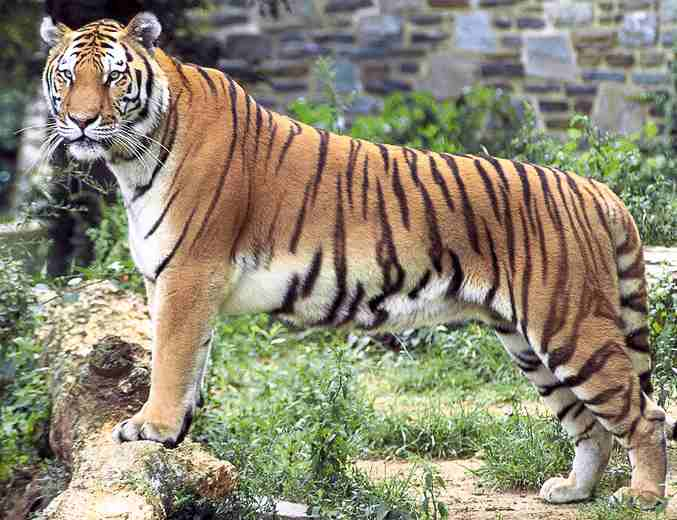 tiger, binatang langka, macan, gambar macan