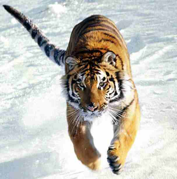 http://www.solarnavigator.net/animal_kingdom/animal_images/Tiger_running_in_snow.jpg