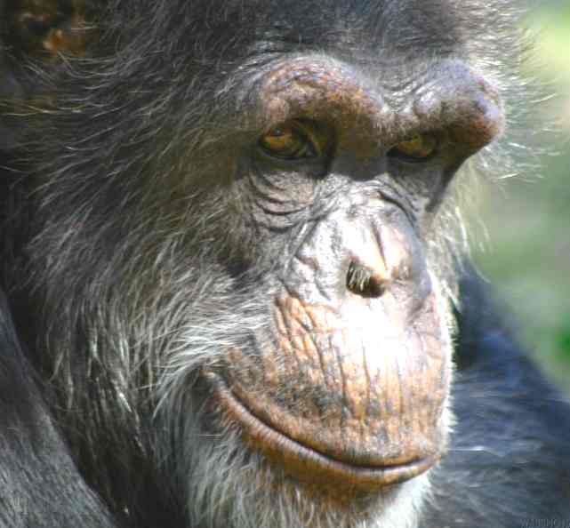 "The image ""http://www.solarnavigator.net/animal_kingdom/animal_images/chimpanzee_mature_male_portrait.jpg"" cannot be displayed, because it contains errors."