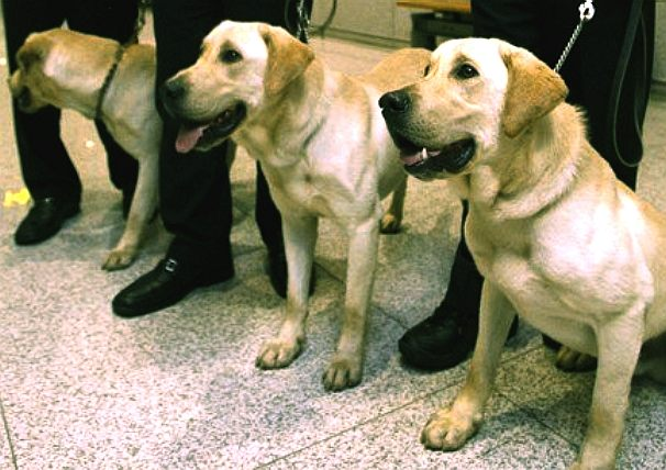 Cloned labrador canines, genetic DNA modified animal experiments