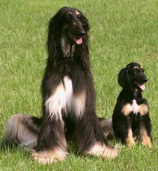 Snuppy cloned afghan hound, Seoul University, Korea