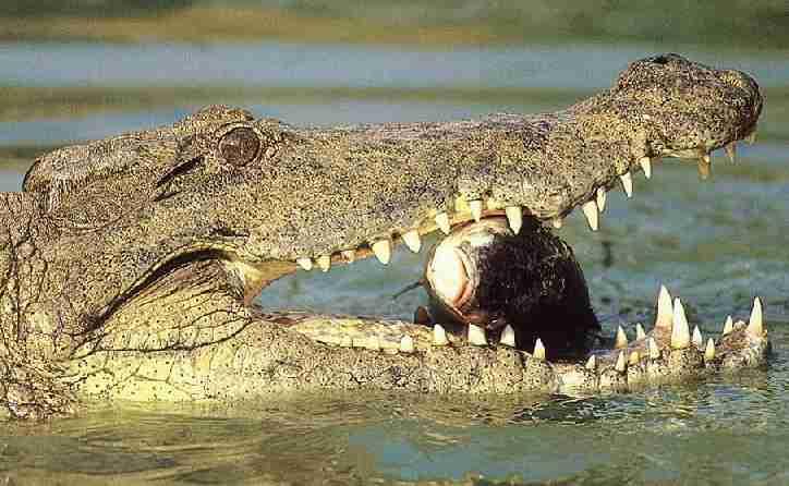 Krokodiller er store i kjeften men kan vist spå, i alle fall i Australia! thumbnail