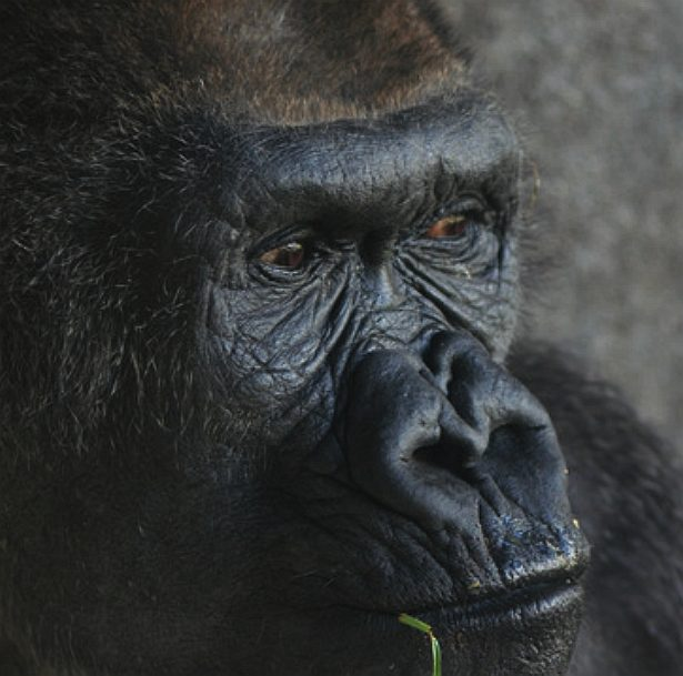Gorilla face - photo#6