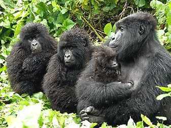 Gorillas mother and babys in the jungle Live Earth