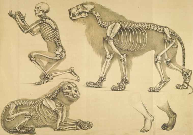 http://www.solarnavigator.net/animal_kingdom/animal_images/human_and_lion_skeletons_Benjamin_Waterhouse_Hawkins_1860.jpg