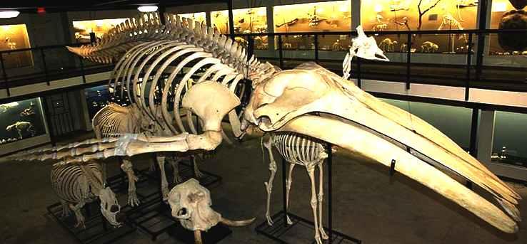 Humpback whale skeleton