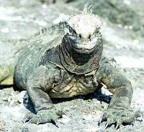 http://www.solarnavigator.net/animal_kingdom/animal_images/iguana_marine_galapagos_islands.jpg