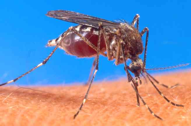 insect_mosquito_aedes_aegypti_biting_human_arm.jpg