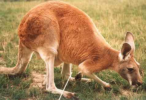 external image kangaroo_red_kangur_rudy.jpg