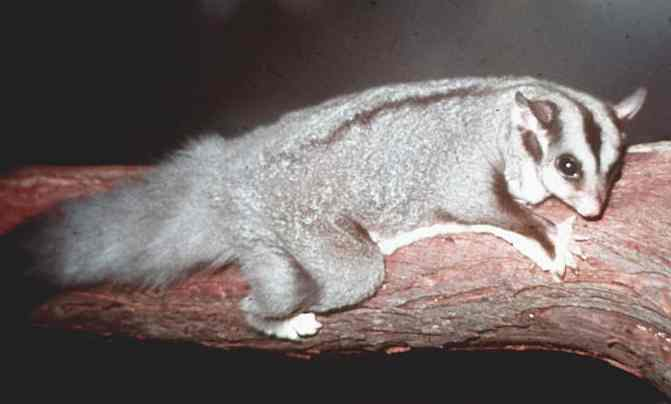 Marsupials the Sugar Glider (Petaurus breviceps)