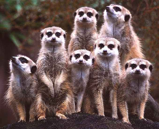 Meerkats comparing the market