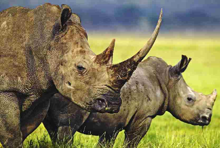 Rhinoceros Animals are protected