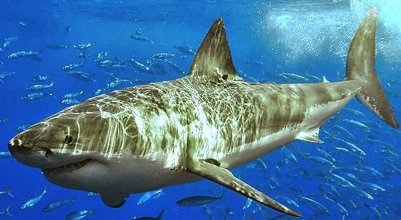 Carcharodon carcharias, the great white shark