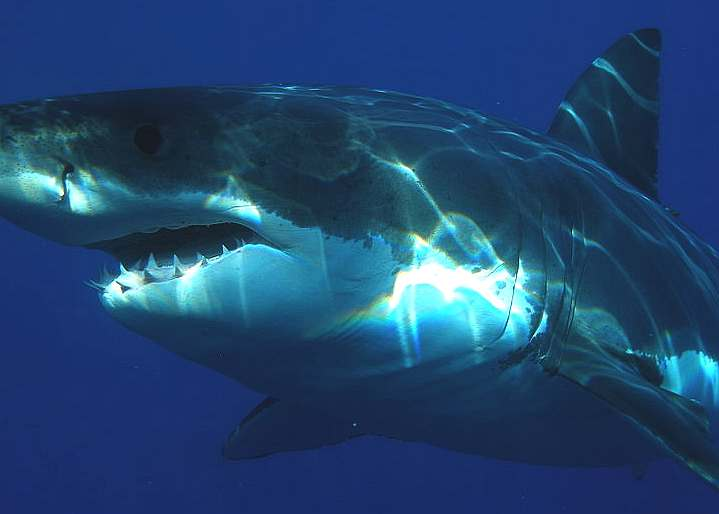 A Great White shark in clear water