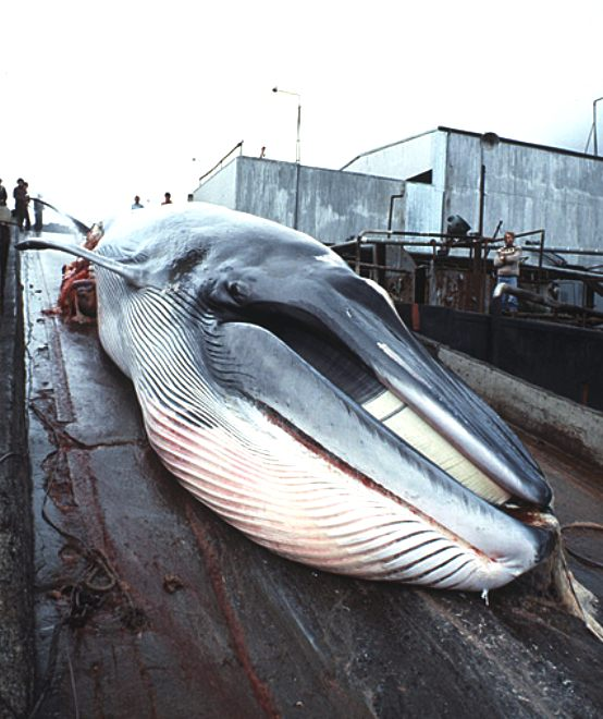 Whaling, minke whale due to be butchered