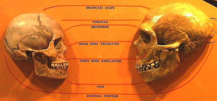 Comparison of Homo Sapiens and Neanderthal skulls