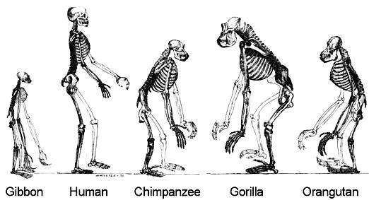 Drawing showing the basic similarities between Human and Ape skeletons