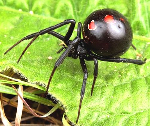 animals spiders black widows cannibals