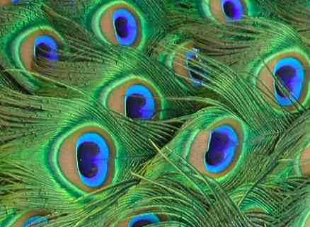 Free photo: Peacock, Blue, Feathers, Green - Free Image on Pixabay ...