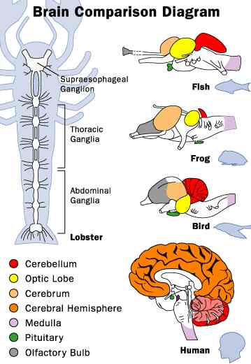 Reptile Brain Anatomy