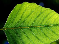 Leaf.  The primary site of photosynthesis in plants.