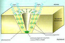 A photosystem: a light-harvesting cluster of photosynthetic pigments in a chloroplast thylakoid membrane.