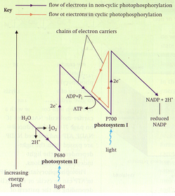The 'Z-scheme' of electron flow in light-dependent reactions.