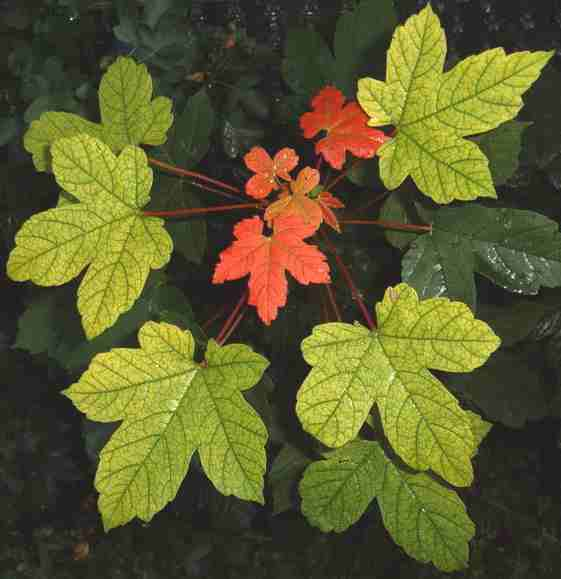 Maple Sycamore leaves