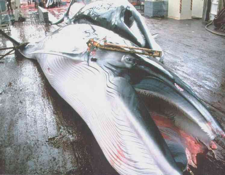 whale hunting statistics. Japanese and Icelandic whaling