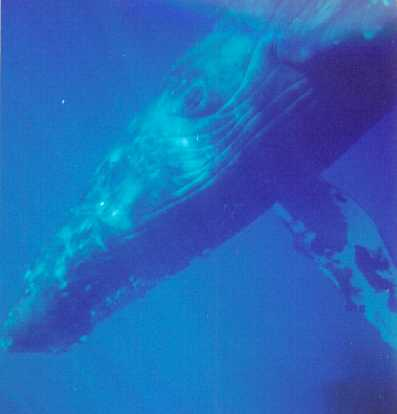 Pictures Of Whales In The Ocean. HUMPBACK WHALE