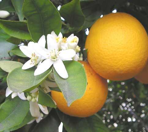 Orange Blossom موسوعة للخضر و الفواكه وفوائدها