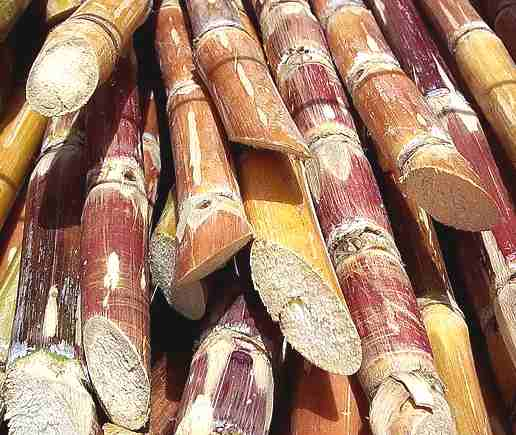 Sugar cane cut stems biofuels
