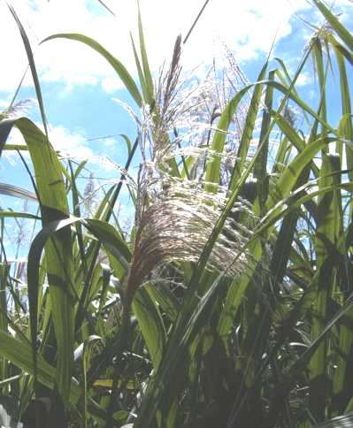 Sugar cane flowering in Australia