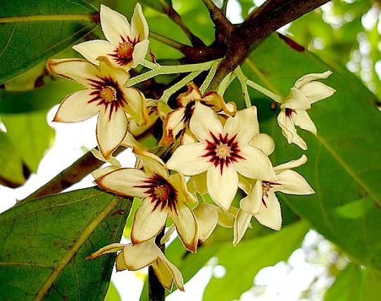 COLA NUTS KOLA TREES